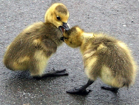 ducks-fighting1
