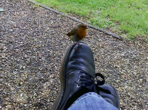 A courageous little robin.